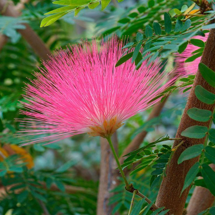 Tamarix Tetrandra Shrubs Van Meuwen Flowering Shrubs Small Ornamental Trees Garden Shrubs