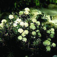 Grønlandsk post (Ledum groenlandicum) > Flere surbundsplanter > Rhododendron & Azalea > planteshop.dk