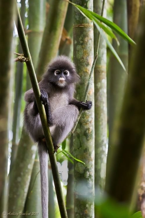 Dusky-Leaf Monkey, Malaysia, Phang, Taman Negara National Park. Ahah, I've seen little cuties like him near the beaches in Lumut =)