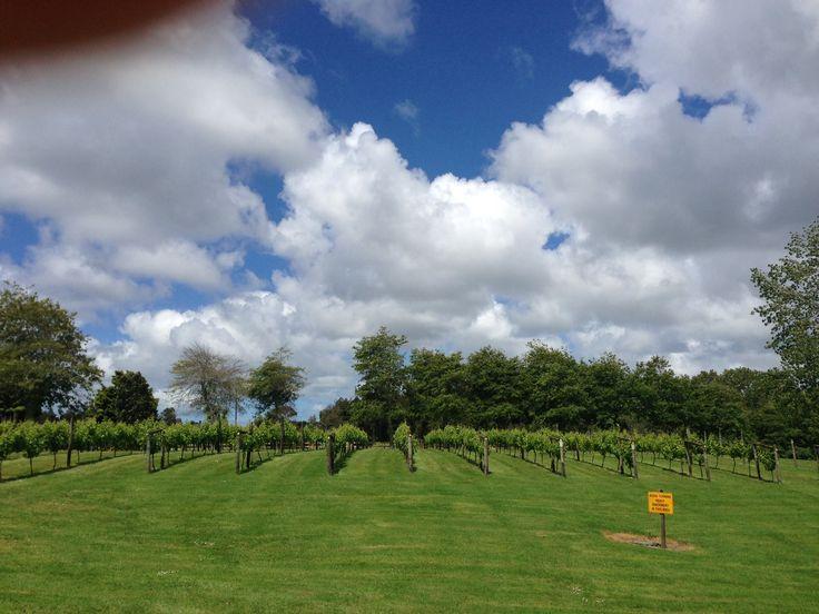 Matua vineyards