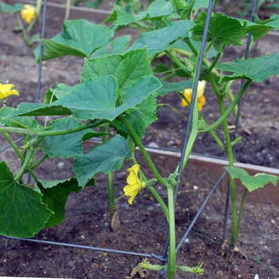 Семена огурцов для открытого грунта фото