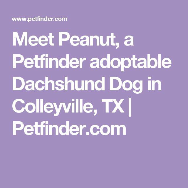 Meet Peanut, a Petfinder adoptable Dachshund Dog in Colleyville, TX | Petfinder.com