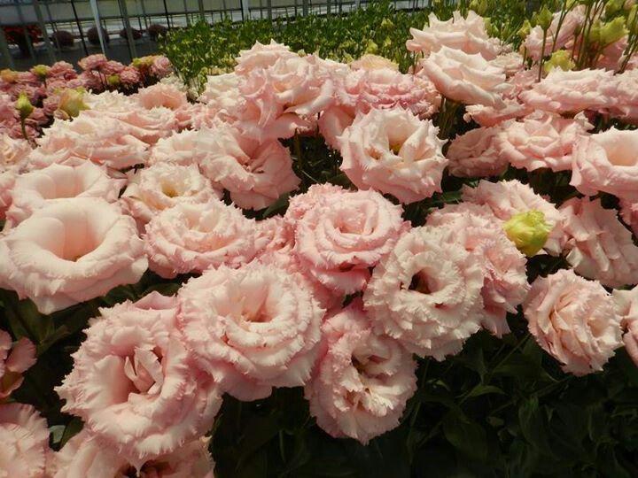 Reina pink