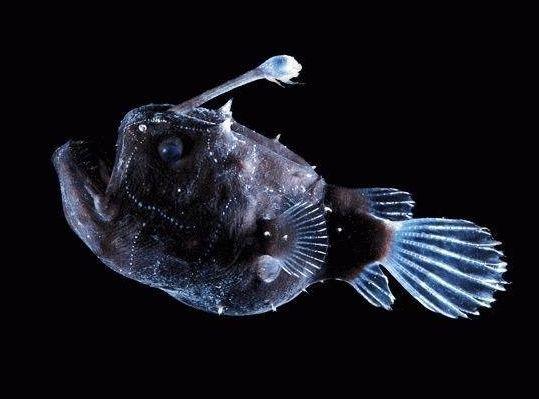 Himantolophus paucifilosus (football fish). Deepsea-MarianaTrench