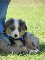 Gunner is our blue merle miniature aussie.