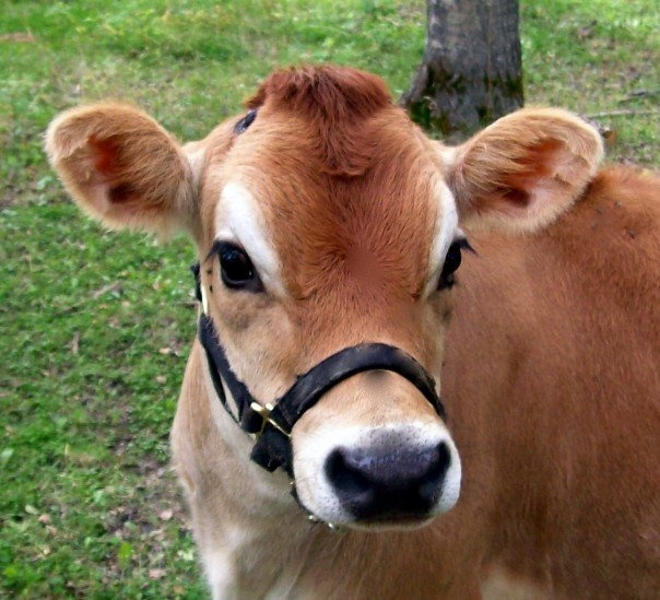 Beautiful Jersey Cow...The cow is the symbol of gentle nourishment and prosperity.