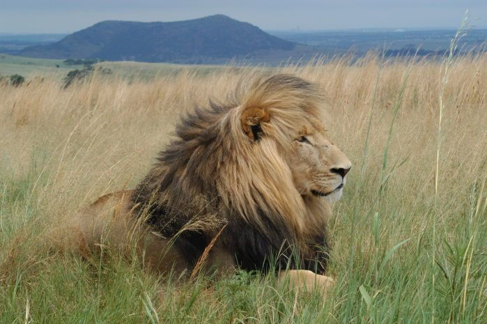 Male lion in Johannesburg's Lion and Rhino park
