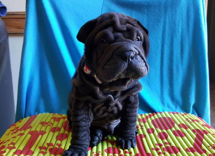 Fantastic Chinese Chubby Adorable Dog - a2465b04b603c6af7be373ba4d481910--chubby-puppies-shar-pei  Trends_73263  .jpg