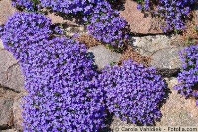 Blaukissen -  Bepflanzung Trockenmauer