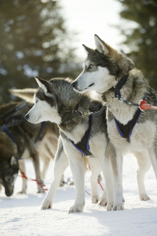 Husky sled dogs in Kuusamo, Finnish Lapland