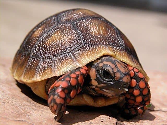 cherry head tortoise turtles