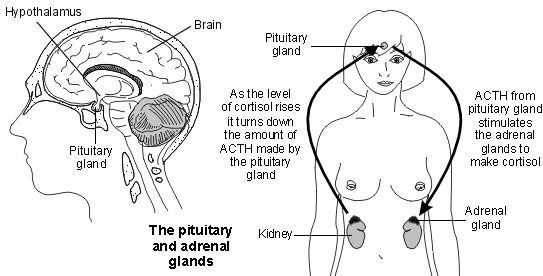 pituitary and adrenals