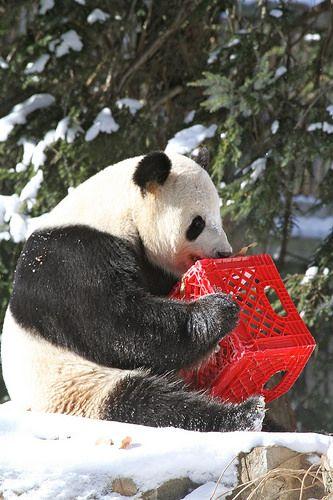 2014 01 22 National Zoo - Tian Tian 002 | Jeroen Jacobs | Flickr