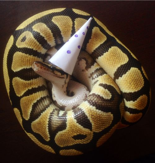 126 best images about Snakes on Pinterest | Pet snake ... Cute Ball Python With Hat