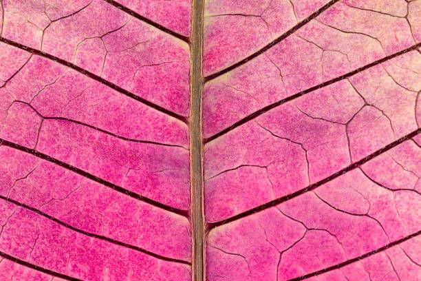 texture with leaf veins of withered poinsettia flower