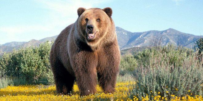 Fondo de pantalla de alta definición oso
