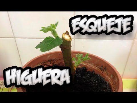 Cómo hacer tu propio árbol de higuera en 30 días con la técnica del esqueje   Upsocl