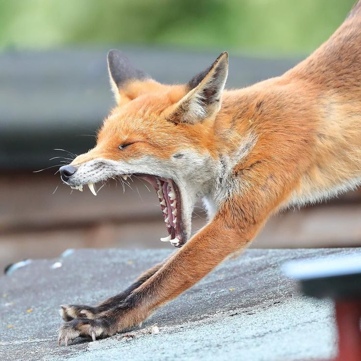 """This photograph of a yawning fox was taken by Andrew Armstrong (@dru_man25) in Shoeburyness Essex. Andrew says: """"She is my local fox and likes to sunbath on my neighbour's shed."""" If you have a photograph that you would like to share with the #englandsbigpicture gallery send it to england@bbc.co.uk #england #picoftheday #photooftheday #photosofbritain #photosofengland #top_10_pics_of_the_week #ukpotd #capturingbritain #england2017 #englandphotography #englandinpictures #fox #foxofinstagram…"""