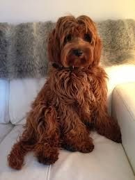 mini cockapoo full grown - Google Search