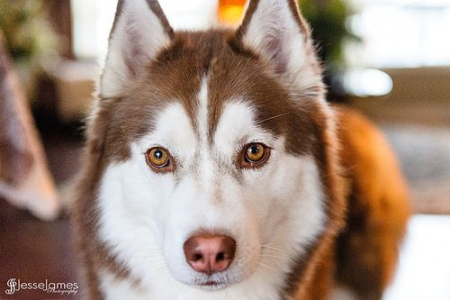 39 best images about Dog Colors - Eyes on Pinterest | Lab ...