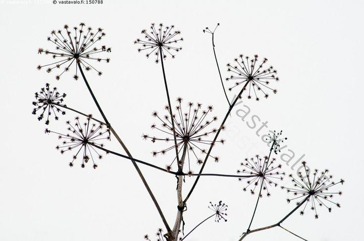 Ojanpohjan tähtisade - karhunputki putkikasvi kasvi kuiva talventörröttäjä haaroittunut haarat säteet säteiset putki kuollut putkilokasvi