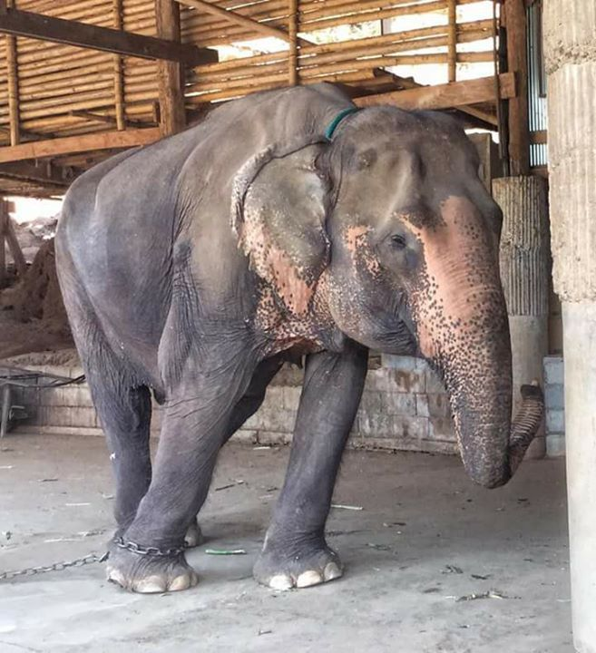 Welcome home to our new member Pikun, the old elephant (65+ years old) who we rescued today from the tourist camp down river from us. For the past 4 years, Pikun has worked at the camp as a trekking elephant. Over that time, Pikun has broken her chain many times and escaped to our property, where the mahout would have much difficulty retrieving her as she was embraced by various social groups within our Park family. Years ago she made a dramatic scene aa she rushed into the Park and was…