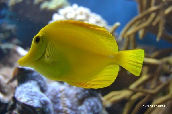Yellow Tang, Zebrasoma Flavescens, Summer 2013, The Aquarium, ZSL London Zoo, London, England, United Kingdom.