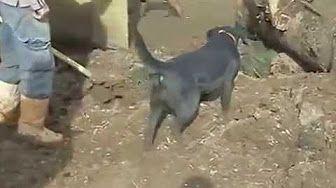 ecuentran 500 colas de perro de bajo de un puente en peru - YouTube