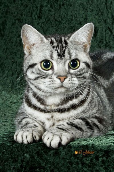 American Shorthair is a breed of domestic cat believed to be descended from European cats brought to North America by early settlers to protect valuable cargo from mice and rats.  #American #Shorthair #Cat #Breed