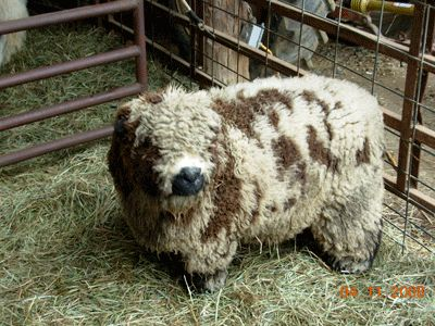 """Dear Forest Grove, you let us have dogs, please let us have miniature sheep and goats.  Love, Sherry    ...""""Old English Baby Doll Sheep"""