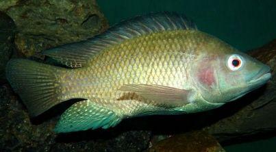 #Un pansement à base de…poisson pour soigner les brûlures - Le Dauphiné Libéré: Le Dauphiné Libéré Un pansement à base de…poisson pour…