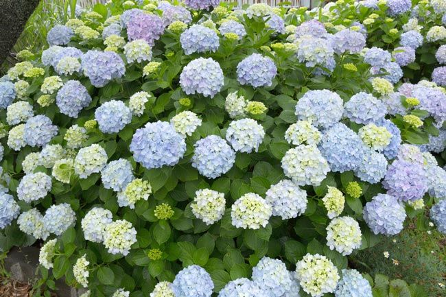 Le 25 migliori idee su fiori da balcone su pinterest for Potatura margherite