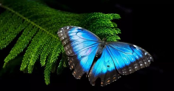 Blauer Morpho Schmetterling   – Animals – Insects, Butterflies, Dragonflies