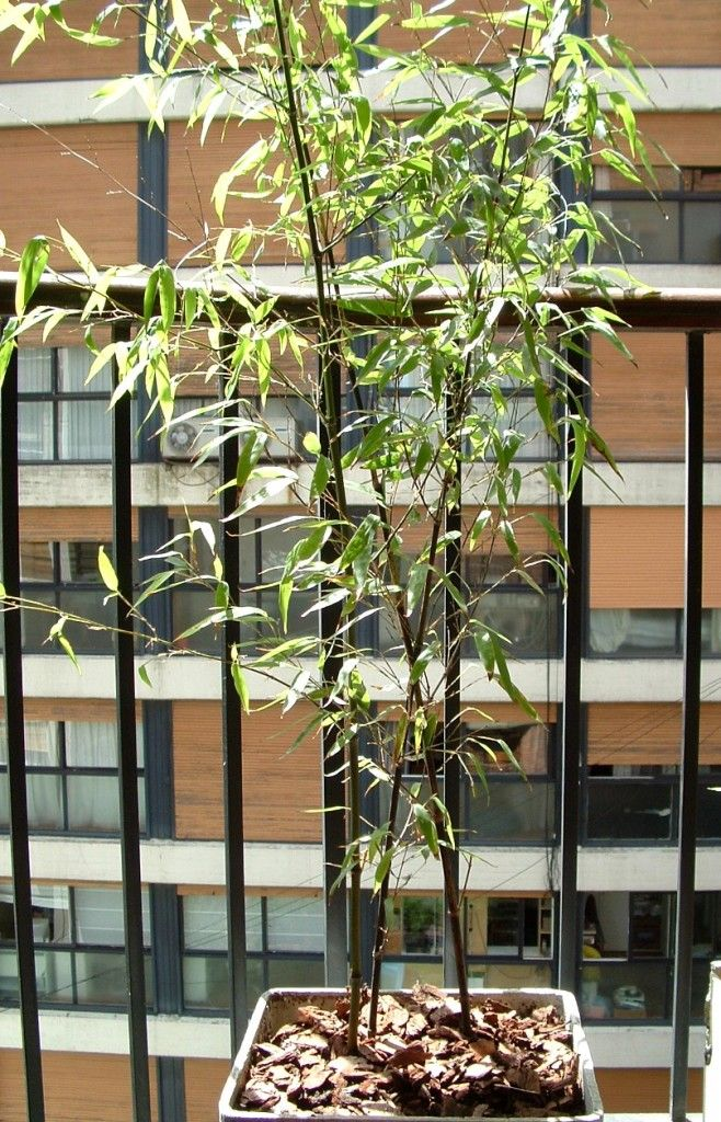 Phyllostachys nigra-Bambú negro