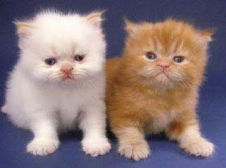 17 Terbaik Ide Tentang Kucing Persia Di Pinterest Kucing