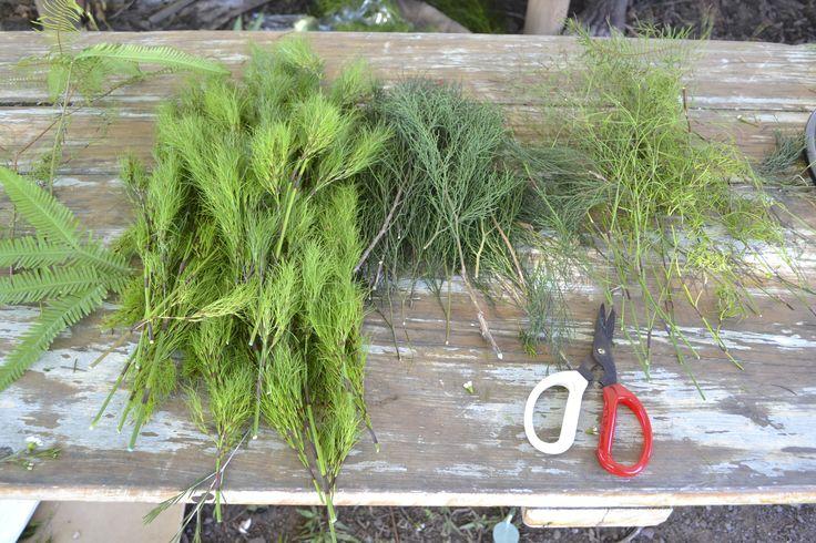Umbrella fern, Koala fern, Bribie pine, Goanna claw