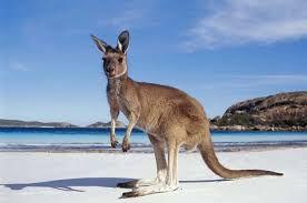 ile aux kangourou Australie. Vous n'y croyez pas et pourtant c'est vrai. Des kangourous sur la plage. Contactez moi pour en savoir plus.