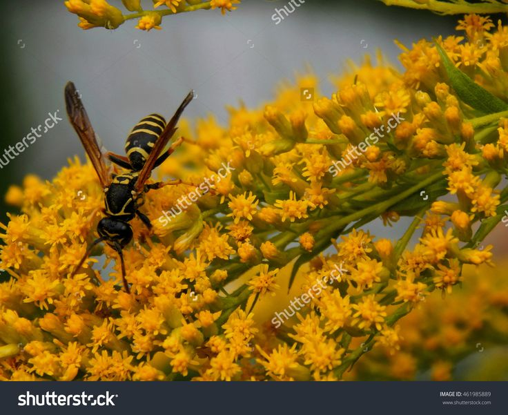 Wasp On Yellow Flowers Close-Up. Selective Focus Stock Photo 461985889 : Shutterstock