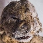 Scientists Will Attempt To Bring An Extinct Cave Lion Species Back To Life