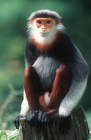 Red-Shanked Douc Langur. Thanks to Amazing God's Creatures (FB)