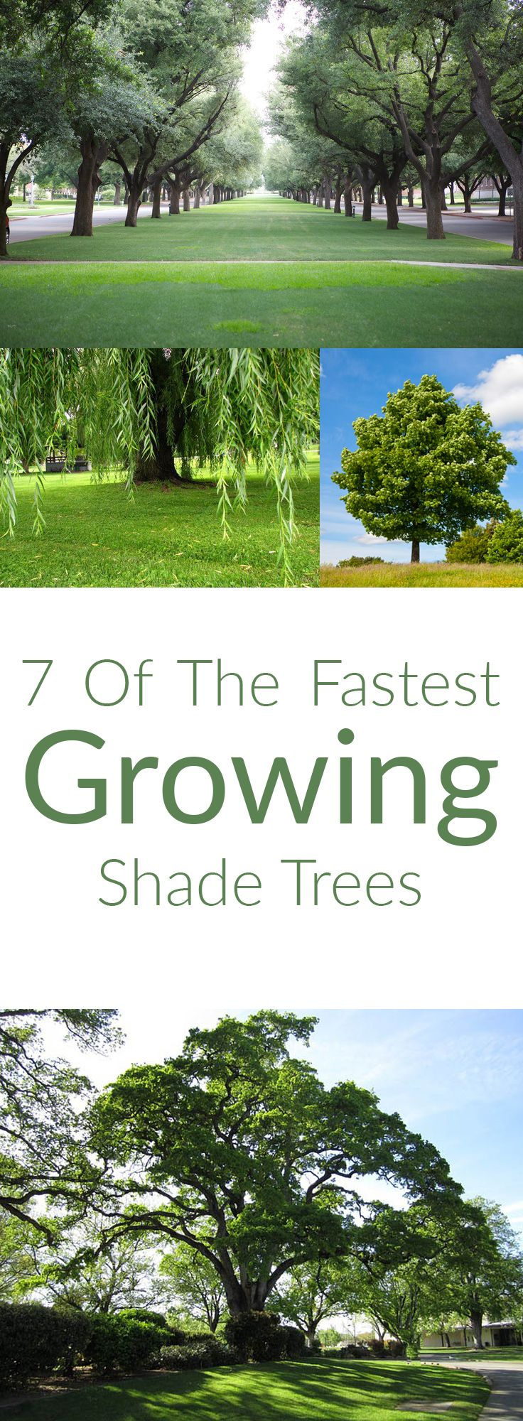 These varieties of trees will come the closest to the need for an instant solution for the need for shade. Bonus is that they are lovely too! http://gailcorcoran.realtor