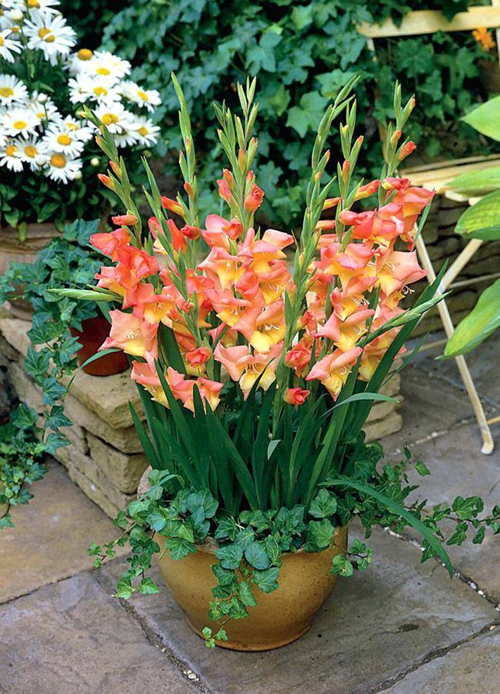 How To Plant And Grow Gladiolus In Pots Bulb Flowers