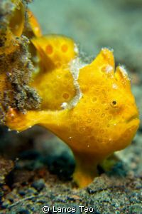 Frogfishes, family Antennariidae, are a type of Anglerfish in the order Lophiiformes. Frogfishes are found in almost all tropical and subtropical oceans and seas around the world, the primary exception being the Mediterranean Sea.