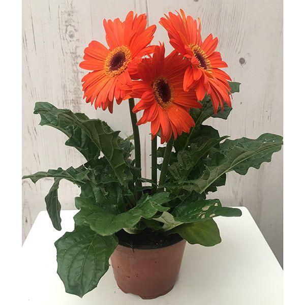 Buy gerbera Gerbera 'Orange Shades': Delivery by Waitrose Garden in association with Crocus