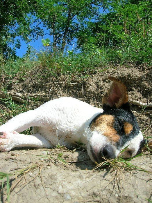 Rat terriers are sunbathers. So true! Ivan loves to catch a few rays outside. Inside they'll follow a sunbeam around the room.