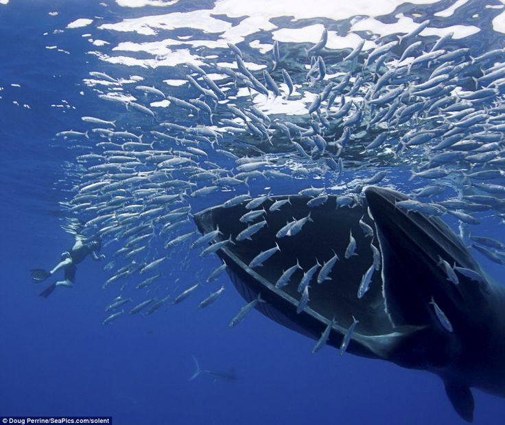 Feeding time: No escape for dozens of sardines as they are swallowed up by a Bryde whale off Baja, California. Bryde's whales are a type of baleen whale that feed on small fish and krill.