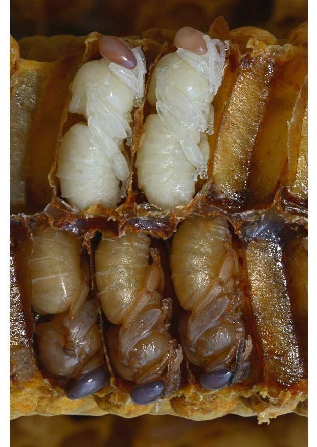 Bee larvae in hive
