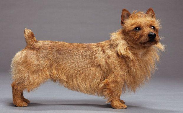 Cachorros: Terrier australiano