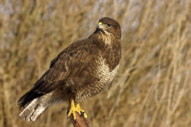 Buzzard (Buteo buteo). The most common UK bird of prey. Buzzards usually eat small mammals but may also eat birds, amphibians, earthworms and large insects. #Birds #UK