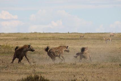 Hyena's in de Serengeti